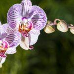 ce simbolizează orhideea