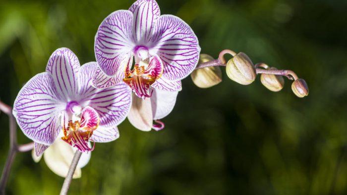 ce semnifică orhideea